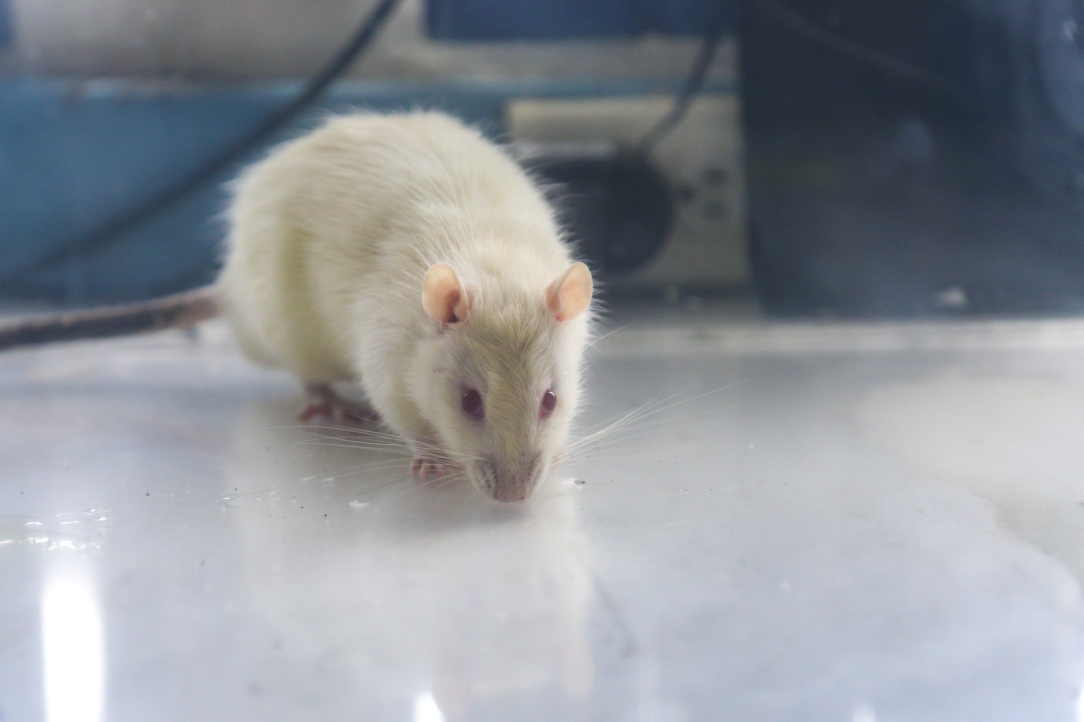 Rata en cámara de laboratorio